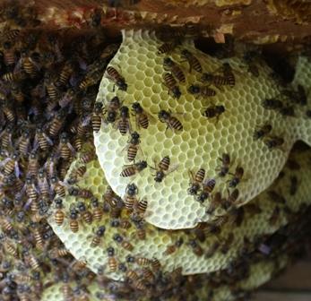 sarang lebah madu apis cerana