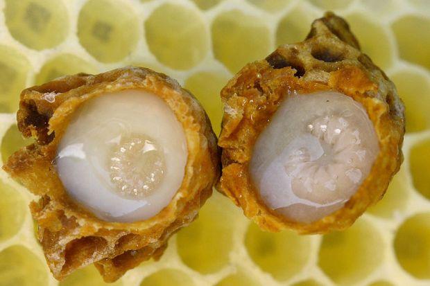 larva lebah yang ternyata banyak menyimpan khasiat